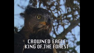 Download Crowned Eagle - The ″King of the Forest″ Video