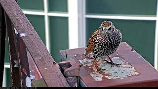 Download European Starling Shows Off Fresh Plumage On Cornell Hawks Cam – Oct. 10, 2017 Video