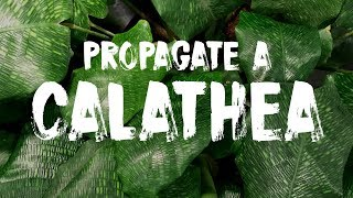 Download How to Propagate a Calathea Mosaica Video