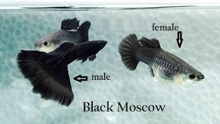 Download guppy fishes veriety and colors Video