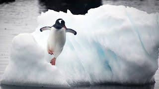 Download LSU Professor Studies Penguins and Environmental Change Video
