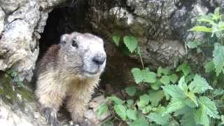 Download La marmotte de Vanoise Video