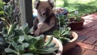 Download Koala house visitor Video