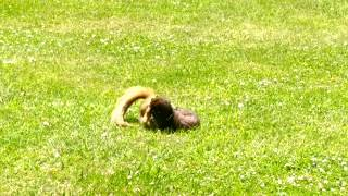 Download Squirrel vs. mink. Video
