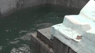 Download Уникальный прыжок БЕЛОГО МЕДВЕДЯ в Новосибирском зоопарке!!!! Video