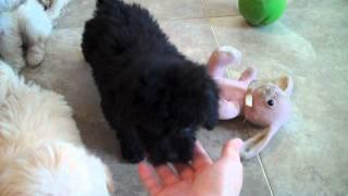 Download Havapoo puppies Video