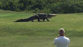 Download Giant Gator Walks Across Florida Golf Course | GOLF Video