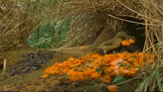 Download How to Attract a Bird! - Battle of the Sexes in the Animal World - BBC Earth - BBC Video