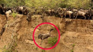 Download Masai Mara River Crossing Migration|Crossing of Wildebeest Across the Crocodile-Infested Mara River Video