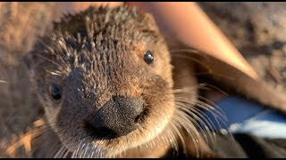Download Orphaned Otter {Try Not To Smile} *Rescued and Rehabilitated* Video