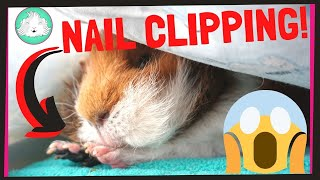 Download HOW TO: Trim Your Guinea Pig's Nails With Ease! | Squeak Dreams Video