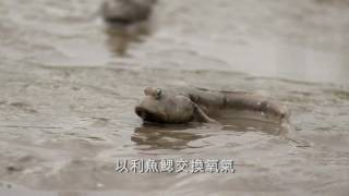 Download 社子島QRcode影片 彈塗魚篇 Video