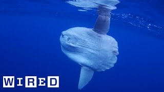 Download Absurd Creatures   Pucker Up with the Truck-Sized Ocean Sunfish Video