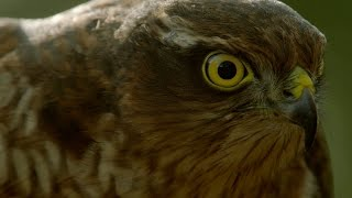 Download How sparrowhawks catch garden birds - Life in the Air: Episode 2 Preview - BBC One Video