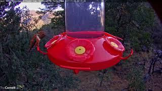 Download Male Rufous Hummingbird Dips Bill Into Hummingbird Feeder – Nov. 20, 2017 Video