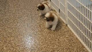 Download Shichon Puppies For Sale Jake StoltzfusP's Video