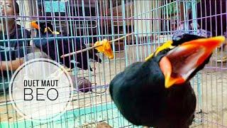 Download Mantap Duet Maut Burung Beo - deadly duo parrot - الببغاء الثنائي البطل Video