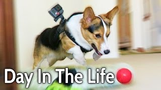 Download A DAY IN THE LIFE of a CORGI PUPPY DOG - Extended Cut! Video