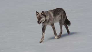 Download Yellowstone Devil Dog (Full Documentary) Video