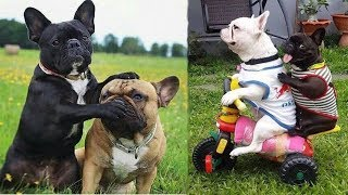 Download Funny and Cute French Bulldog Puppies Compilation #4 - Cutest French Bulldog Video
