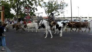 Download Texas Fort Worth Stockyards Livestock Transhumance Video