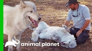 Download ″Big Bad Wolf″ Finds Love At Lockwood Animal Rescue | Wolves and Warriors Video
