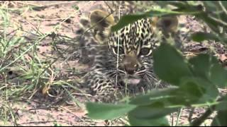 Download Karula and her two Cubs A Special Moment! Video