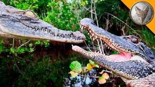 Download Alligator vs Crocodile! Video