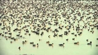 Download Migratory Birds India Video