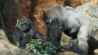 Download 上野動物園 リキ君が気になるハオコ ニシローランドゴリラ Video