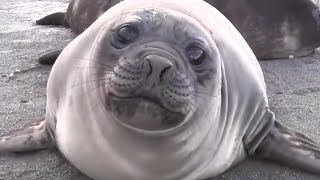 Download INCREDIBLE Encounter with Friendly Baby Elephant Seal [EXTENDED CUT] Video