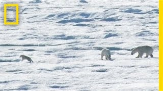 Download EXCLUSIVE: Male Polar Bear Chases and Eats Cub | National Geographic Video