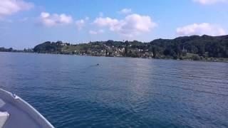 Download Schwimende Wildsau im Bodensee Video