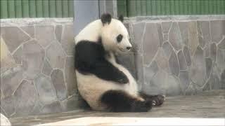 Download お腹をトントンとパンダのお食事タイム2019年5月25日の Video