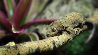 Download THE FIRST WEEK Owning A Chahoua (Mossy Prehensile-Tailed Gecko) Video