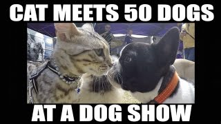 Download Watch this CAT meet 50 dogs at a dog show Video