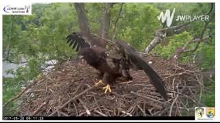 Download Trio Bald Eagles Nest 05-28-2017 Getting stronger Video