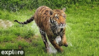 Download Vacation Rotation - Big Cat Rescue powered by EXPLORE.ORG Video
