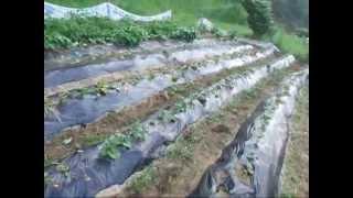 Download 고구마모종 쉽게 심는 방법 고구마호미 sweet potate seeding EZ Helphome Video
