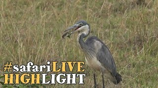 Download A heron makes his catch of the day! Video