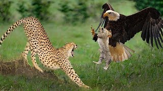 Download Big Mistake Eagle Provoked Baby Leopard And The Unexpected | Mother Leopard Fail To Save Her Baby Video