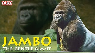 Download Jambo the Gorilla - The Gentle Giant - Documentary Video