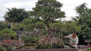 Download Xây dựng ý tưởng tạo tác lại 1 cây sanh Nam Điền giáng trực - Bonsai artifacts Video