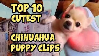 Download TOP 10 CUTEST CHIHUAHUA CLIPS OF ALL TIME Video