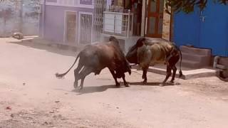 Download Bull fight in India at rural places Video