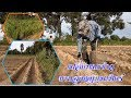 Download ปลูกหญ้าเนเปียร์ในแปลงนา/ Growing Napier Grass on the Rice Fields. Video