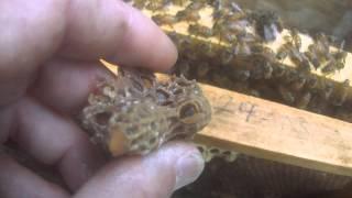 Download Queen Honey Bee Hatching in my hand! Video