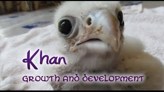 Download Khan the saker falcon - Growth And Development Video