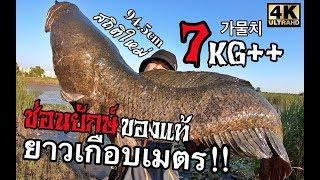 Download โคตรปลาช่อนยักษ์7กิโล!!ยาวเกือบเมตร!!เกิดมาพึ่งเคยเจอโคตรใหญ่งัดเท่าไรก็ไม่มา가물치94.5cml BABILONllEp7 Video