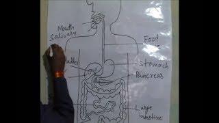 म नव ह दय क स रचन Human Heart Structure ह दय